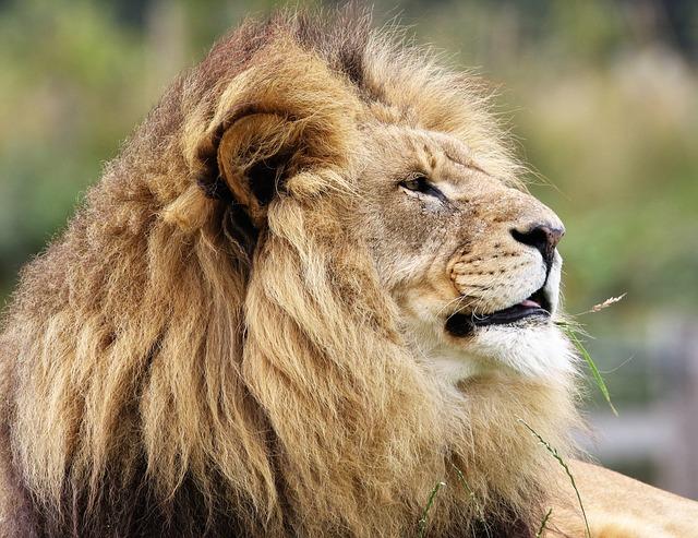 lion-fierte